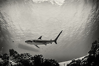 A Caribbean reef shark (Carcharhinus perezi) partols the reef. Taken on assignment during the Bahamas Underwater Photo week 2014.