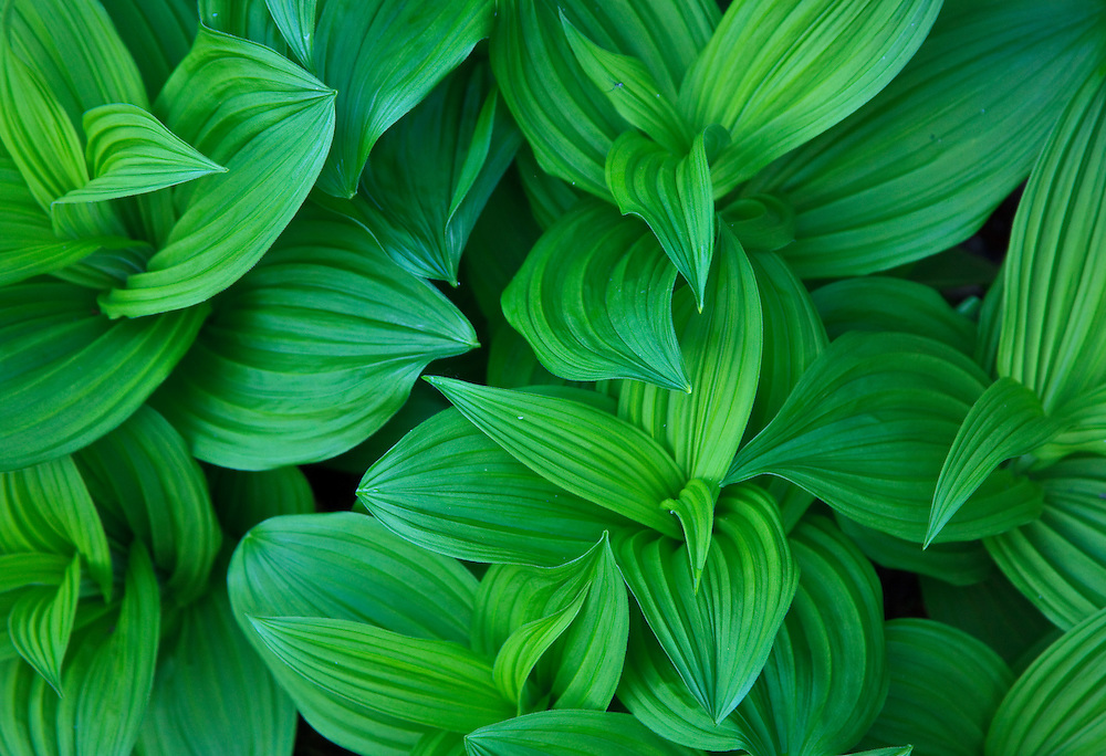 Lush green striated leaves of a forest plant.