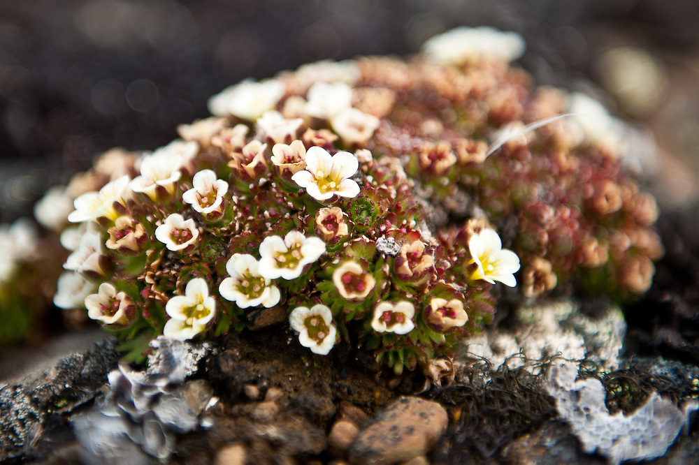 Saxifrage, a delicate flower that blooms for a very brief period during the summer thaw in the Arctic.
