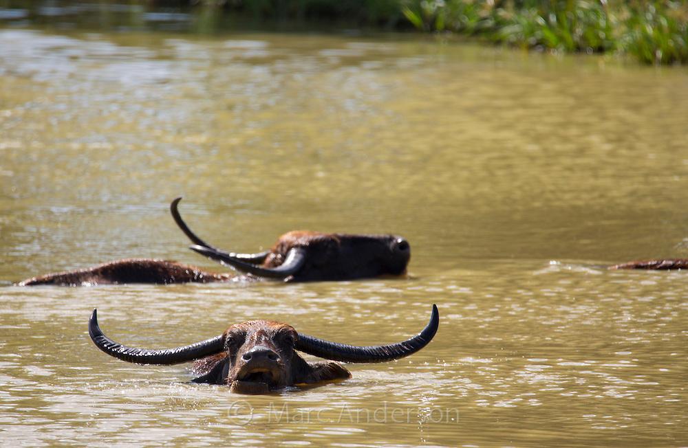 Asian Water Buffalo (Bubalus bubalis) in a waterhole, Yala National Park, Sri Lanka