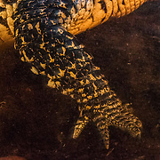 The dinosaur leg and foot of a Cuban crocodile. Cuban crocs are among the most aggressive species of crocodiles in the world.