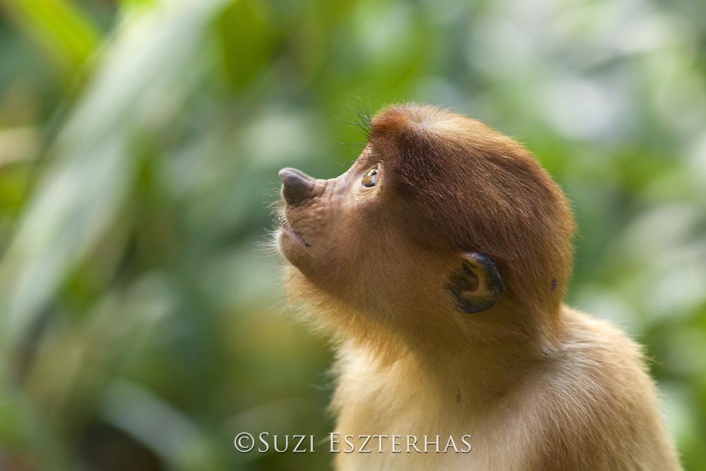 Proboscis Monkey<br /> Nasalis larvatus<br /> Juvenile<br /> Sabah, Malaysia