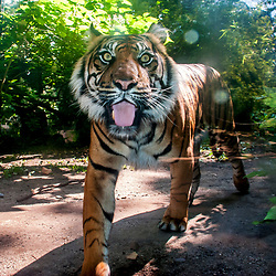 Tigre-de-sumatra (Panthera tigris sumatrae). Registro feito em 2009. Animal em Cativeiro.<br /> <br /> <br /> <br /> <br /> ENGLISH: Sumatran tiger. Picture made in 2009. Captive animal.