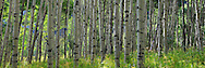 Aspen Trees in White River National Forest, Colorado