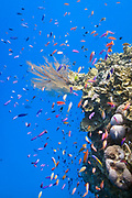 Fish schooling around fan coral  tropical coral reef - Agincourt reef, Great Barrier Reef, Queensland, Australia <br /> <br /> Editions:- Open Edition Print / Stock Image