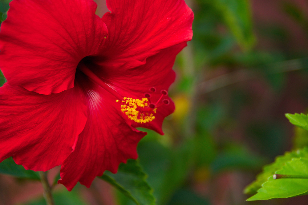 The hibiscus is a flowering plant in tropical and subtropical regions of the world.  This red hibiscus photograph was taken in Hawaii.