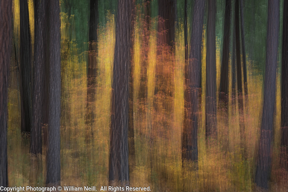 Dogwood and Forest, autumn, Yosemite National Park, California 2013