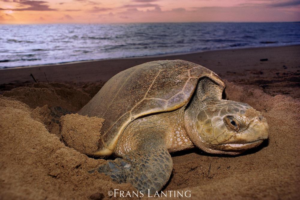 Olive ridley sea turtle laying eggs at sunset, Lepidochelys olivacea, Surinam