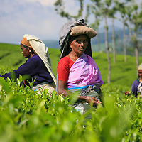 A worker on a tea leaf farm in the Nilgiri District of southern India pauses from her work on Oct. 13, 2009.