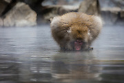 The hot water of the thermal springs at Jigokudani is not used just for keep monkeys warm, they also use it for drinking.