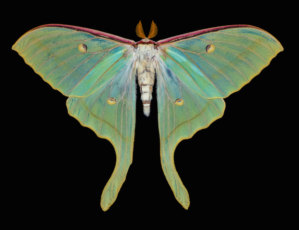 Indian luna moth (Actias selene)