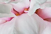 Peony closeup (Paeonia suffruticosa) macro image