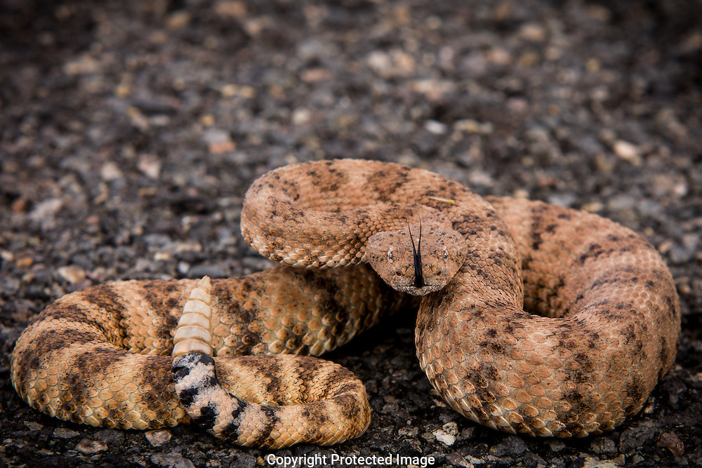 With tongue flicking and rattles buzzing a Mojave Rattlesnake defends it's territory in the Cerbat mountains of northern Arizona.  Caution - extremely aggressive and highly venomous.  DO NOT attempt close up photography or handle this rattlesnake.