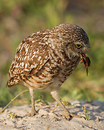 Adult burrowing owl with prey (beetle), © 2011 David A. Ponton