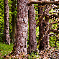 Massive trees in a forest with roots on the foregraound, Lake District, Cumbria, UK
