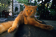 USA, Vereinigte Staaten Von Amerika: Hauskatze (Felis catus domesticus), Felidae, Katze liegt auf einer Veranda und reinigt sich den Bauch, Hemingway Haus und Museum, Key West, Florida | USA, United States Of America: Domestic cat (Felis catus domesticus), Felidae, Cat on porch in belly cleaning body posture, Hemingway Home and Museum, Key West, Florida |