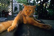 USA, Vereinigte Staaten Von Amerika: Hauskatze (Felis catus domesticus), Felidae, Katze liegt auf einer Veranda und reinigt sich den Bauch, Hemingway Haus und Museum, Key West, Florida   USA, United States Of America: Domestic cat (Felis catus domesticus), Felidae, Cat on porch in belly cleaning body posture, Hemingway Home and Museum, Key West, Florida  