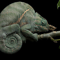 Two-banded Chameleon (Furcifer balteatus), male. A rare species, F. balteatus is known with certainty to occur at only a few locations in southeast Madagascar, and is classified as Endangered due to threats from habitat loss and collecting for the pet trade.