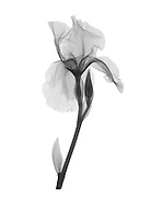 An X-ray of an iris flower (Iris germanica) .  This low energy x-ray shows the interior structure of the flower.