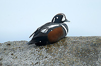 Harlequin Duck (Histrionicus histrionicus) on beach at Qualicum Bay, Vancouer Island, Canada   Photo: Peter Llewellyn