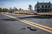 A black rat snake slithers across Maple Dam Road in Church Creek, Md. Many homes in the area of Church Creek, which neighbors Blackwater National Wildlife Refuge, have been abandoned as the soil becomes more saturated with salt water and turns into marsh.