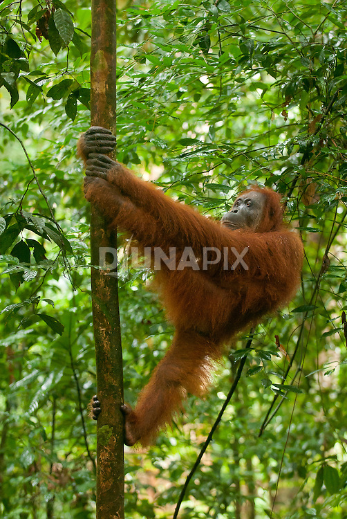 A Sumatran orangutan does a silly walk up a sapling in Gunung Leuser National Park.