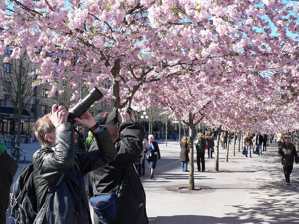 Körsbärsträden i Kungsträdgården blommor.
