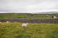 Sheep farming on Inis Oirr Island the Aran Islands County Galway Ireland