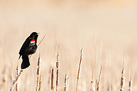 A Red Winged Blackbird early in the season vocalizes looking for a mate nesting season is getting started!