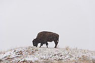 A bison grazes during a brief snowstorm at Theodore Roosevelt National Park.<br /> <br /> Theodore Roosevelt National Park lies in western North Dakota, where the Great Plains meet the rugged Badlands. It's great habitat for bison, elk and prairie dogs. The Little Missouri River flows through the park.