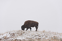 A bison grazes during a brief snowstorm at Theodore Roosevelt National Park.<br />