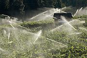 Sprinklers irrigate vineyards in El Dorado County, California