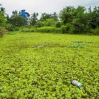 Floating Fern (Salvinia natans), an invasive species, and spray can in urban wetland, Diyasaru Park, Colombo, Sri Lanka