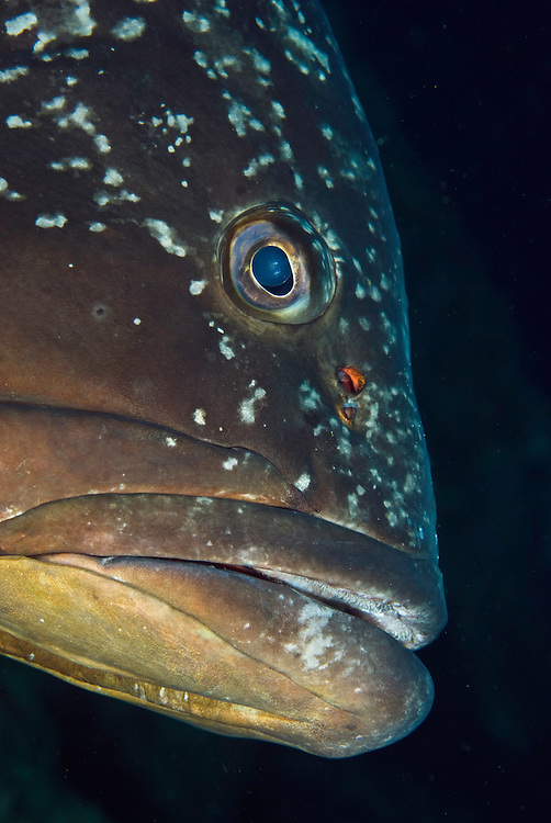 Dusky Grouper (Epinephelus marginatus) - 'endangered' in IUCN Red List<br /> France: Corsica, Lavezzi Islands, Cala di Grecu<br /> [digitally cleaned - very minor]