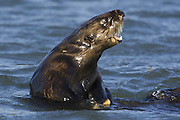 Southern sea otter<br /> Enhydra lutris<br /> Mother calling pup<br /> Monterey Bay, CA