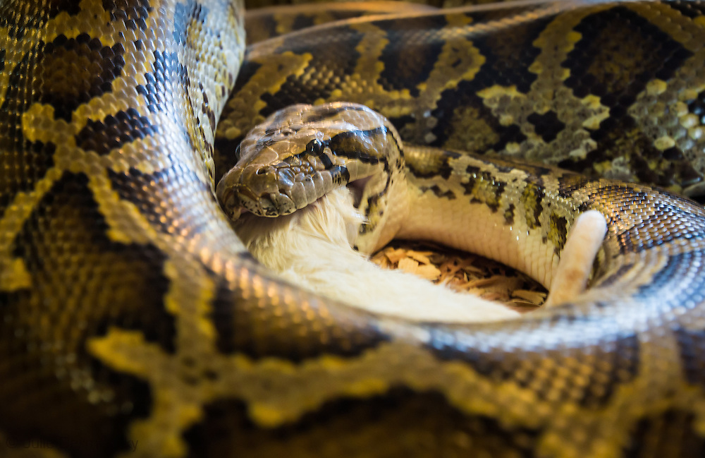 Python captured in the Everglades, at the Skunk Ape Nature Reserve & Research Center in Ochopee, Florida on U.S. Route 41.