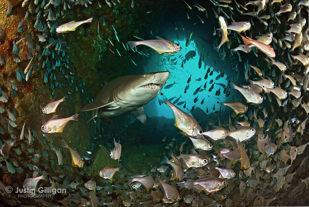 A grey nurse shark (Carcharias taurus) in a shallow cave entrance surrounded by bullseyes, photographed in Fish Rock Cave, South West Rocks, New South Wales, Australia, Pacific Ocean.