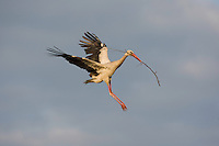 White stork (Ciconia ciconia) adult in flight carrying nest material. Rusne, Lithuania. Mission: Lithuania, June 2009
