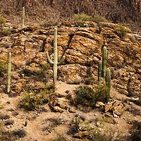 Saguaro National Park landscape, Tucson, Saguaro in a rocky canyon.