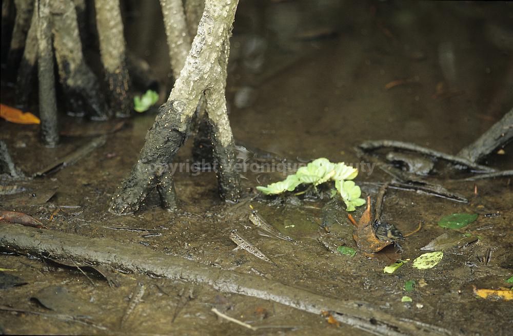 Le periophtalme est un poisson amphibie des mangroves The periophtalm is an amhibian fish of the mangrove