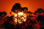 Pine trees silhouetted at sunrise, Everglades National Park, Florida