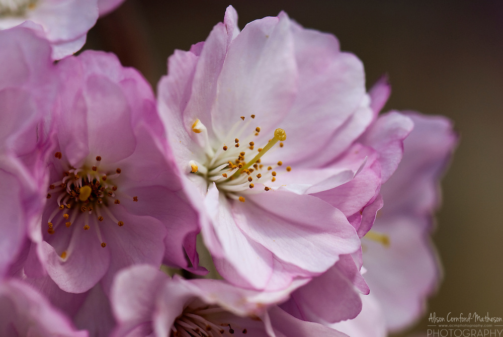 Pink Cherry Blossoms bloom on a cherry tree in spring