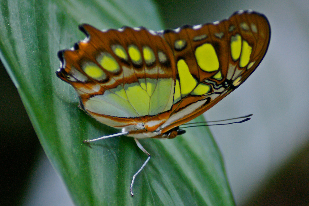 Swallowtail butterfly, Butterfly Garden, Santa Elena, Costa Rica Costa Rica