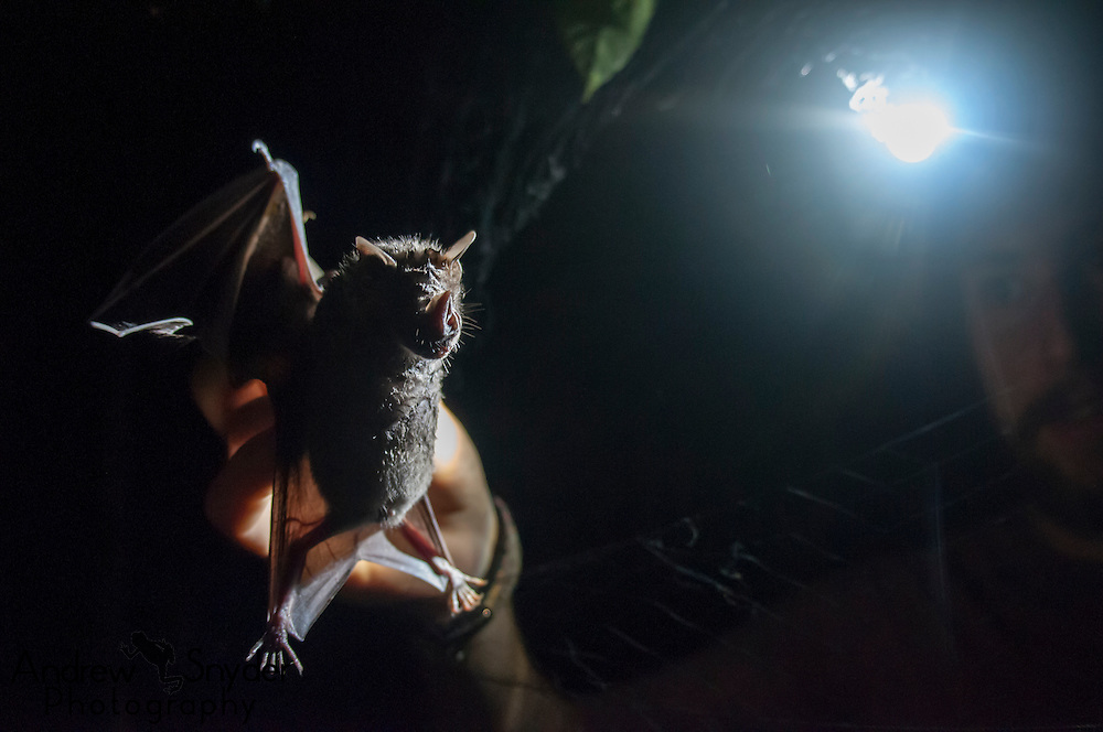 Biologist Tom Horsley holds a greater fruit eating bat (Artibeus lituratus) after removing it from a mist net. Iwokrama, Guyana.