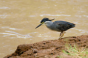 Striated Heron, Butorides striata, from Samburu NP, Kenya.