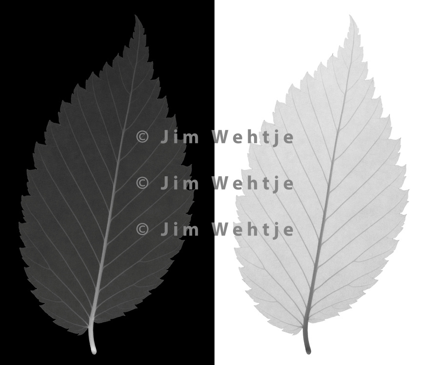X-ray image of an American elm leaf (Ulmus americana, grayscale) by Jim Wehtje, specialist in x-ray art and design images.