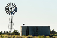 A spurwinged goose rests on the wall of a farm reservoir, Overberg, Western Cape, South Africa