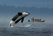 A transient orca breaches while feeding off of Stuart Island as whale watchers from Canada get their money's worth.<br /> Steve Ringman / The Seattle Times
