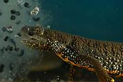 Great Crested Newt or Northern Crested Newt, male (Triturus cristatus) eating frogspawn. Lake Selent (Selenter See), Germany | Das mit 14 cm Körperlänge etwas kleinere Kammmolch-Weibchen (Triturus cristatus) stärkt sich während der Fortpflanzungszeit an einem Ballen Froschlaich, den es in seinem sonnigen Laichgewässer entdeckt hat.