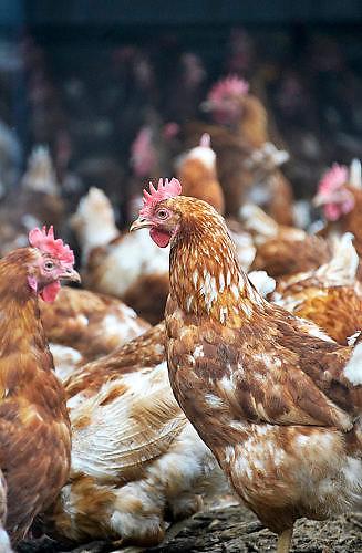 Nededrland, Ewijk, 1-4-2017Kippenfarm Het Rondeel. Het Rondeel is een diervriendelijk huisvestingsconcept voor leghennen. waarbij gezocht is naar een duurzame toekomst voor de legpluimveehouderij. Bekroond door de Dierenbescherming.Foto: Flip Franssen
